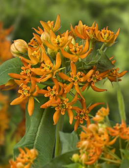 Picture of vibrant orange Beatrix flower