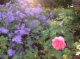 Purple and pink flower bed
