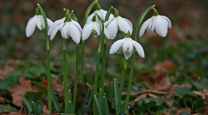 Mysteries of the Snowdrop