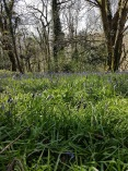 Bluebells in Dorset Woodland