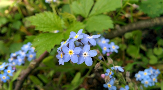 Flower of the month: Forget-me-nots