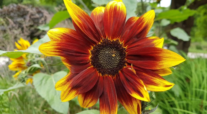 Flower of the month: Sunflower
