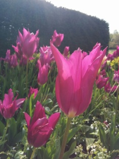 pink-tulip-in-sunshine
